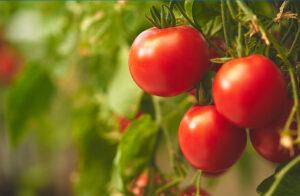 Plantação de Tomates